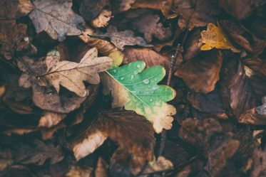 Fallen leaves spread bacteria